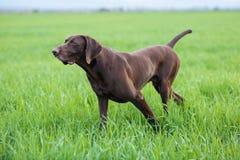 En muskulös choklad - den bruna hunden, den tyska Shorthaired pekaren, en fullblod, står bland fälten i gräset i punkten Royaltyfria Bilder