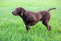 En muskulös choklad - den bruna hunden, den tyska Shorthaired pekaren, en fullblod, står bland fälten i gräset i punkten Arkivbild