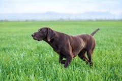 En muskulös choklad - den bruna hunden, den tyska Shorthaired pekaren, en fullblod, står bland fälten i gräset i punkten Arkivfoto