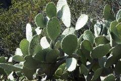 En mycket gammal kaktusväxt för taggigt päron Arkivfoto