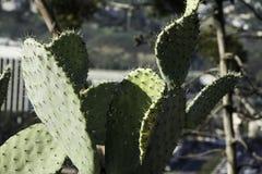 En mycket gammal kaktusväxt för taggigt päron Royaltyfri Foto
