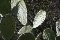 En mycket gammal kaktusväxt för taggigt päron Royaltyfria Foton