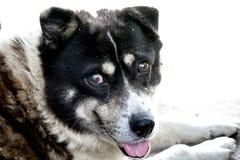 En mycket gammal och blind hund, men mycket försiktigt arkivbilder