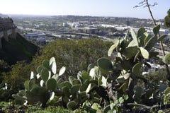En mycket gammal och mycket stor kaktusväxt för taggigt päron Fotografering för Bildbyråer