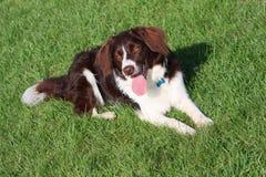 En mycket gullig lever och vitcollie korsar den älsklings- hunden för springerspanieln royaltyfri bild