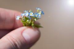 En mycket liten bukett av glömma-mig-nots i händerna av en ung kvinna Mycket litet glömma-mig-nots, närbild Arkivfoto