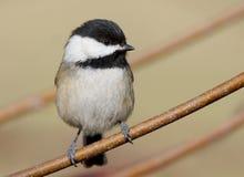 En mycket mycket liten fågel kallade enkorkad Chickadee royaltyfri bild