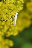 En mycket liten häggErmine Micro Moth Yponomeuta evonymella som nectaring på verum för Galium för bedstraw för dam` s, blommar Fotografering för Bildbyråer
