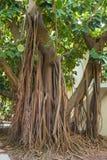 En mycket stor gummiväxt med starkt rotar att växa i en stad parkerar royaltyfria foton