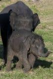 En mycket ung elefantkalv på den Minneriya nationalparken i centrala Sri Lanka Arkivfoton