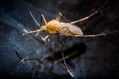 En mygga på vattenyttersida Royaltyfri Fotografi
