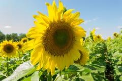 En nära sikt av en mogen solros med stora gräsplansidor på en fi arkivfoton