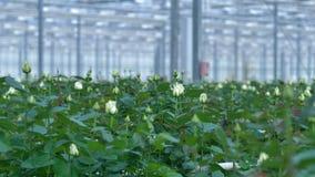En nära sikt på vita spirande rosor i ett kommersiellt växthus stock video