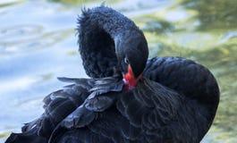 En nära stående av den svarta svanen för aA ordnar hans fjädrar nära dammet fotografering för bildbyråer