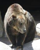 En nära stående av en grisslybjörn Arkivfoton