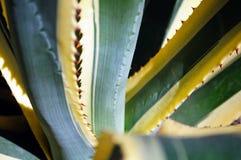 En närbild av agaven låter vara med spiny marginaler Royaltyfria Foton