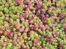 En närbild av en blomrabatt av den spanska fetknoppen för rosa färger och för gräsplan, Sedum hispanicum som glimmar i morgonsoll Arkivbild