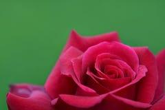 En närbild av djupt - rosa färgrosen Arkivbilder