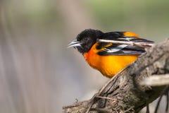En närbild av en färgrik orange manlig Baltimore Oriole fågel Fotografering för Bildbyråer