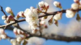 En närbild av en härlig växande filial av aprikons eller sakura som blomstrar blomman i en vår i trädgården lager videofilmer