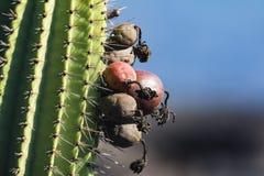 En närbild av en kaktus Fotografering för Bildbyråer