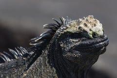 En närbild av en Marine Iguana Arkivbilder