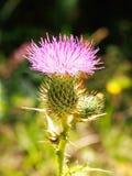 En närbild av en rosa tistel Royaltyfria Foton