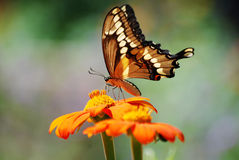 En närbild av en Swallowtail fjäril på Cantigny i Wheaton, Illinois Arkivbilder