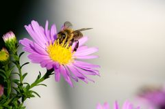 En närbild av ett bi samlar nektar på en europeisk Michaelmas-tusensköna royaltyfri foto