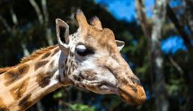 En närbild av en giraffs huvud royaltyfria foton