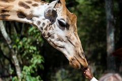 En närbild av en giraffs huvud arkivbilder