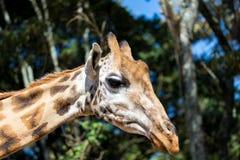 En närbild av en giraffs huvud arkivbild