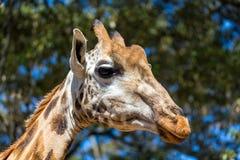 En närbild av en giraffs huvud royaltyfri fotografi
