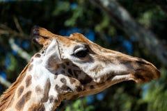 En närbild av en giraffs huvud fotografering för bildbyråer