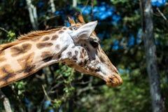 En närbild av en giraffs huvud royaltyfria bilder