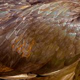 En närbild av hönsfjädrar Royaltyfria Foton