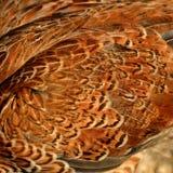 En närbild av hönsfjädrar Royaltyfria Bilder