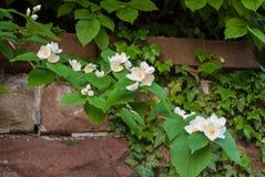En närbild av jasminfilialen med en mörk tegelstenvägg royaltyfri foto