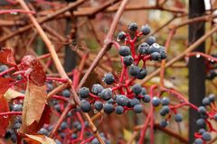 En närbild av mogen svart vinbärfrukt efter ett höstregn royaltyfria foton