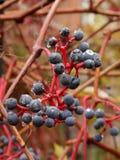 En närbild av mogen svart vinbärfrukt och sidor efter en höst regnar royaltyfri foto