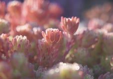 En närbild av rosa sidor av den spanska fetknoppen, Sedum hispanicum som glimmar i morgonsolljuset Arkivbilder