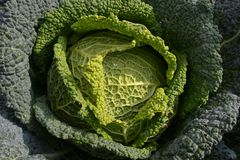 En närbild direkt ovanför sikt till en grön mogen kålyttersida i en solig dag fotografering för bildbyråer