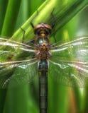 En närbild från en stor drakefluga Royaltyfria Foton