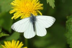En nätt Gräsplan-ådrad vit fjärilsPierisnapi som nectaring på en maskrosblomma arkivbilder