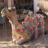 En nätt kamel Royaltyfri Foto