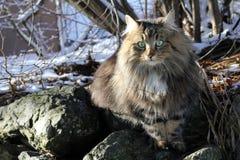 En nätt norrman Forest Cat arkivbild
