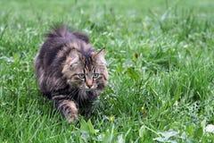 En nätt norrman Forest Cat royaltyfri foto