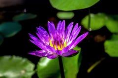 En nätta purpurfärgade Waterlily i solljuset arkivfoton