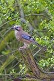 En nötskrikafågel som sätta sig på en trädstubbe royaltyfria foton