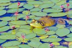 Closeupen av tjurgrodan på lilja vadderar Fotografering för Bildbyråer
